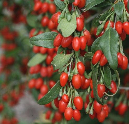 Где купить ягоды Годжи